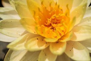 hermoso nenúfar o flor de loto en el estanque. foto