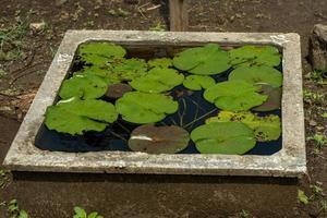 hoja de flor de loto. de cerca foto