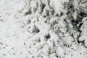 Coniferous forest under snow - blizzard in winter forest photo