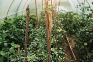 dentro del invernadero, plantas amantes del calor en las camas - maduración del tomate foto