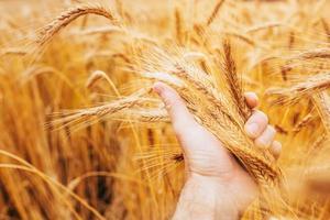Hermoso color amarillo de grano maduro y espigas secas en la mano cariñosa del agricultor: una rica cosecha de cultivos de granos foto