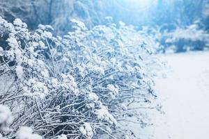 Bosque de invierno día helado - agujas cubiertas de nieve blanca de cerca foto