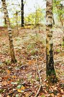 Deciduous forest with sparsely growing trees - young oaks and birches photo