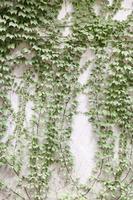 pared con hiedra verde foto