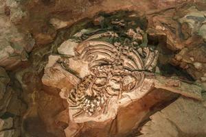 fósil de phuwiangosaurus sirindhornae en el museo sirindhorn foto