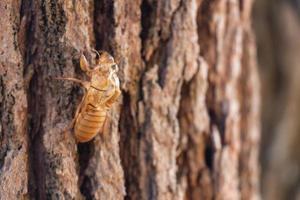 Ciénaga de muda de insectos cigarra en pino en el parque nacional Thung Salaeng Luang foto