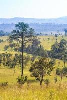 campo de sabana y pino foto