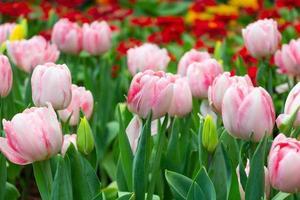 flores de tulipán en jardín foto