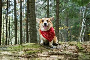 Funny corgi dog portrait outdoors in the forest photo