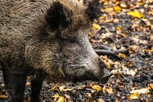 Wild boar in the forest photo