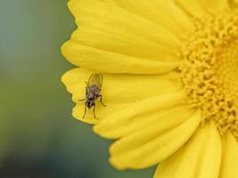 Primer plano de la mitad de una guirnalda de flores de crisantemo de color amarillo brillante con una pequeña mosca en un pétalo foto