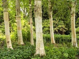 White Himalayan birch tree trunks Betula utilis jacquemontii photo