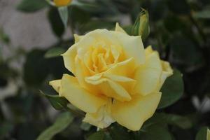 Yellow rose in a garden bush photo