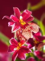 Beautiful red Cambria orchid flowers photo
