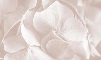 hortensia. fondo de flores de hortensia foto