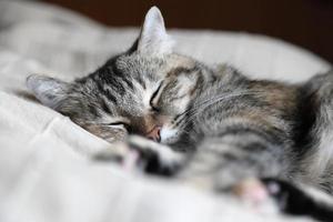 gato atigrado durmiendo foto