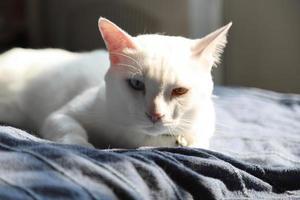 relajarse gato blanco foto