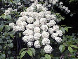 Hermosas flores blancas en un arbusto de bolas de nieve japonés foto