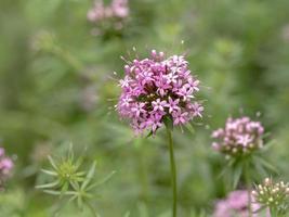 Primer plano de una flor de phuopsis stylosa crosswort caucásico foto