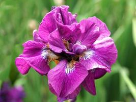 Primer plano de una hermosa flor de iris rosa variedad tumble bug foto