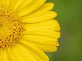 Primer plano de la mitad de una guirnalda de flores de crisantemo de color amarillo brillante foto