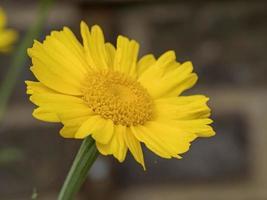 Primer plano de una bonita guirnalda de flores de crisantemo foto