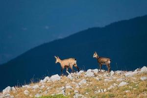Wild goat in the mountains photo