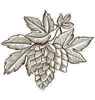 Ilustración de grabado vintage de lúpulo y malta para logotipo de cerveza vector