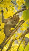 Portrait baby macaque on a Cassia fistula tree branch in  Thailand, South east asia. Yellow flowers of spring, happiness background concept. photo