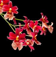Red orchid isolated on black photo