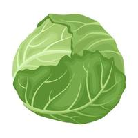 Cartoon vector illustration isolated object fresh food vegetable cabbage