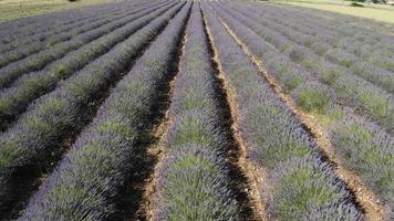 Aerial Footage of Lavender Field video