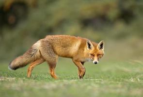 zorro rojo en la naturaleza foto