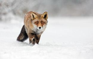 Red fox in Wintertime photo