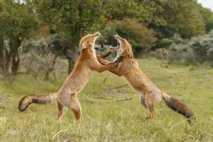 Red fox cubs in nature photo