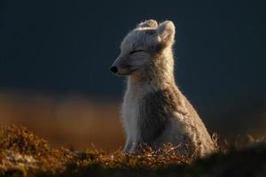 el zorro ártico en noruega foto