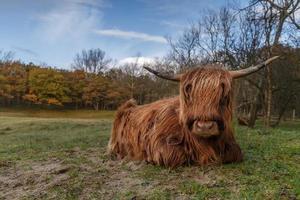 la vaca de las tierras altas foto