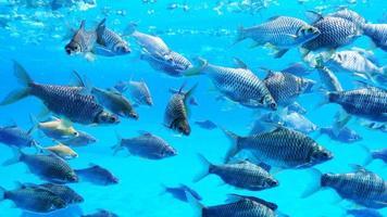 grupo de peces de lengüeta plateada en el agua. foto