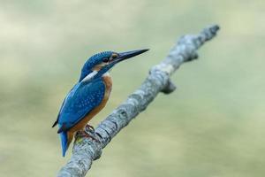 el martín pescador un hermoso pájaro de color azul. foto