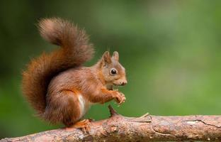 Red Squirrel in a forest photo