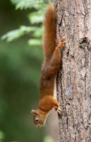 ardilla roja en un bosque foto