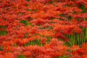 Blooming red spider lily flowers in early autumn photo