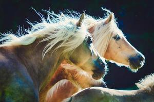 Two Haflinger horses gallop side by side photo