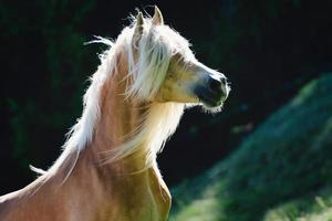 A haflinger horse with mane above the eyes photo