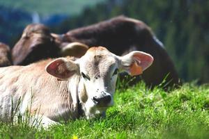 Vaca de raza morena alpina en los Alpes de Bérgamo en Italia foto