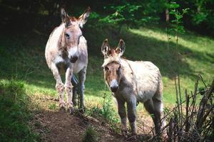 Dos burros en la pradera de los Alpes de Bérgamo en Italia foto