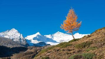 una colorida planta de alerce de otoño la montaña nala foto