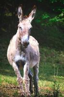 Un burro en la pradera de los Alpes de Bérgamo en Italia foto