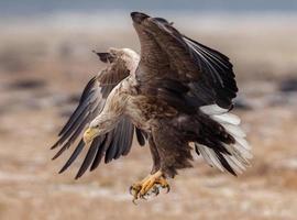 European white tailed eagle photo