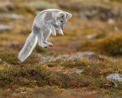 zorro ártico salvaje en la naturaleza entre los colores del otoño. foto